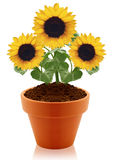 Sunflower in clay pot Stock Photography