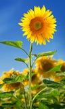 Sunflower on blue sky backround. Sunflower on clear blue sky backround Stock Photo