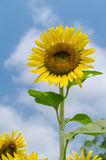 Sunflower on clear sky Royalty Free Stock Image
