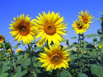 Sunflower on clear sky royalty free stock photography