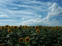sunflower and a clear sky royalty free stock images