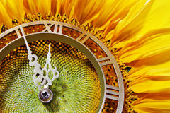 Sunflower-clock. Indicative on approach of noontime Royalty Free Stock Images