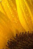 Sunflower close Royalty Free Stock Image