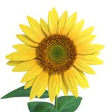 Sunflower Close Royalty Free Stock Photos