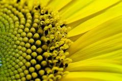 Sunflower close-up. Macro micro Royalty Free Stock Photo