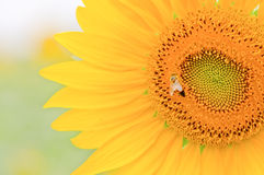 Sunflower close-up. Royalty Free Stock Photo