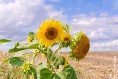 Sunflower close up Stock Photos