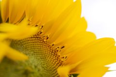 Sunflower close-up Stock Photo