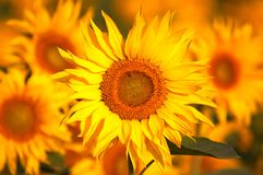 Sunflower close-up. An image of yellow sunflowers Stock Photography