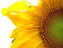 Sunflower, close up. Half segment of a flowering sunflower against white background Royalty Free Stock Photo