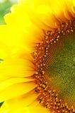 Sunflower close-up. Yellow; sunflower; flower; petals; close-up; sun; blossom Royalty Free Stock Image
