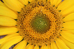 Sunflower close-up Stock Images