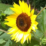 Sunflower. Close up Royalty Free Stock Photos