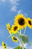 Sunflower close up against blue sky Stock Photos