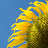 Sunflower close up against blue sky Stock Photography