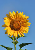 Sunflower close-up against dark blue sky Royalty Free Stock Photography