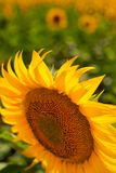 Sunflower close-up against field. Sunflower field with focus on one central flower in front and blurred background Royalty Free Stock Photo