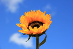 Sunflower close-up against sky Stock Images