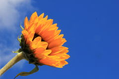 Sunflower close-up against sky Royalty Free Stock Image
