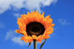 Sunflower close-up against sky Royalty Free Stock Photos