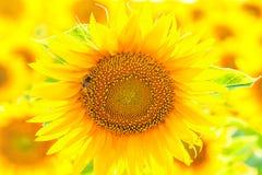 Sunflower close up, backlit Stock Images