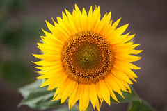 Sunflower, close up Royalty Free Stock Photos