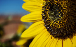 Sunflower close-up. With beautiful bokeh stock photo