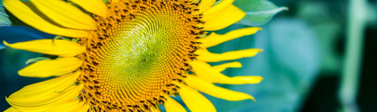 Sunflower. Close up beautiful center of sunflower Stock Photos