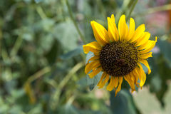 Sunflower Close-Up. Beautiful sunflower with copy space Royalty Free Stock Photography