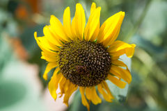 Sunflower Close-Up. Beautiful detail of a sunflower Royalty Free Stock Image