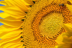 Sunflower Close Up Stock Images
