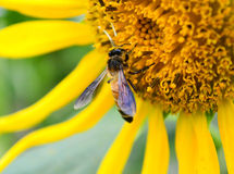 Sunflower close-up. Bee picking up pollens from a sunflower, focus is on the bee Stock Photo