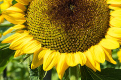Sunflower close up with bee. On plant green leaf stock photography