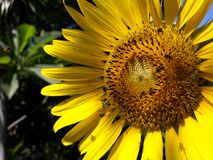 Sunflower close up. Sunflower and bee pollinating Royalty Free Stock Photo