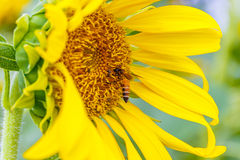 Sunflower close-up with bee Royalty Free Stock Photo
