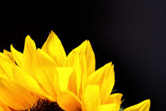 Sunflower close up with a black background Royalty Free Stock Photo