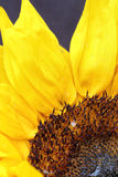Sunflower close up with a black background Royalty Free Stock Photography