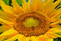 Sunflower. Close up of sunflower in bloom Stock Images