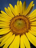 Sunflower close up. Sunflower blossom And bees are pollinating Stock Photo