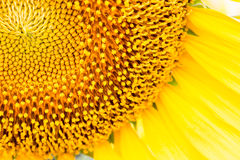 Sunflower close-up Royalty Free Stock Images