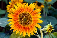 Sunflower. Close up of a colorful sunflower stock photos