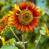 Sunflower. Close up of a colorful sunflower stock photo