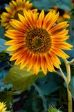 Sunflower. Close up of a colorful sunflower royalty free stock photography