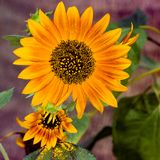 Sunflower. Close up of a colorful sunflower stock photography