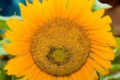 Sunflower. Close up of a colorful sunflower stock image