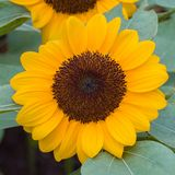 Sunflower. Close up of a colorful sunflower royalty free stock image