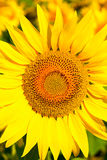 Sunflower close-up. Close up of the sunflower. The common sunflower  helianthus annuus is an annual species of sunflower grown as a crop for its edible oil and Royalty Free Stock Photography