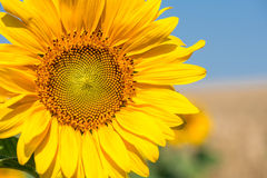 Sunflower close-up. With copy space Royalty Free Stock Photography