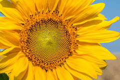 Sunflower close-up. With copy space Stock Images
