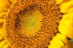 Sunflower close-up. With copy space stock photography